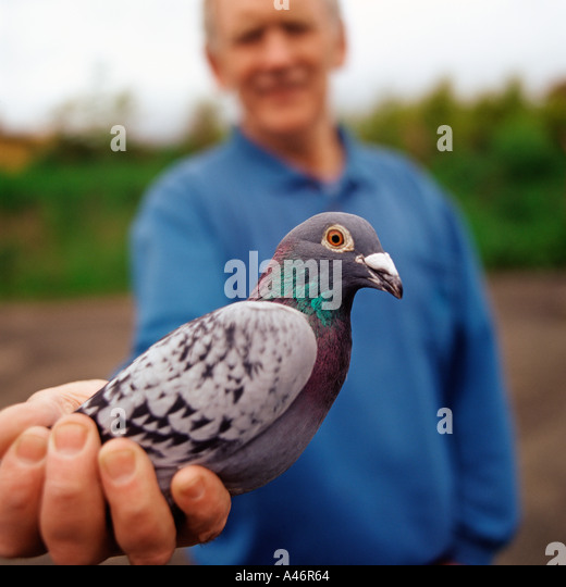 Man holding pet pigeon - Stock-Bilder
