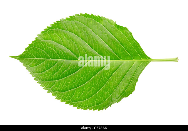 Single Hydrangea leaf isolated on white - Stock Image