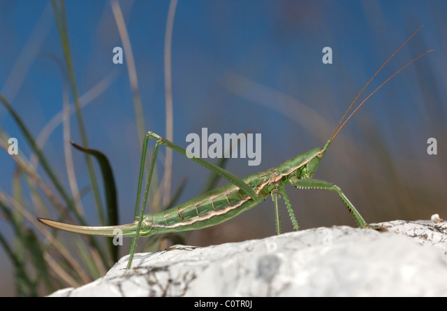 Predatory Bush Cricket (Saga pedo) on a rock. - Stock Image