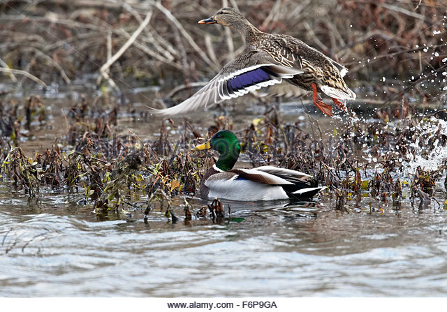 Male Mallard Duck and Female Flying - Stock Image
