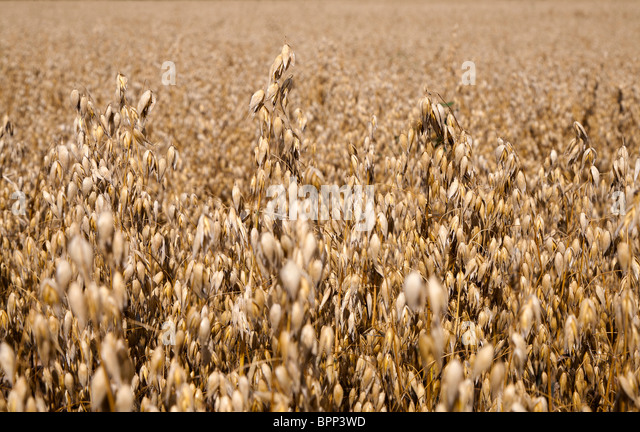 Oats ready for harvesting in field in Gloucestershire England UK - Stock Image