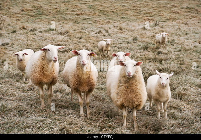 Group of curious sheep, Ovis aries. - Stock Image