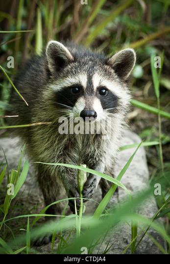 Juvenile Raccoon (Procyon lotor), Inniswood Metro Gardens, Westerville, Ohio. - Stock Image