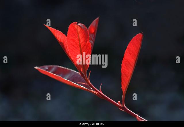 photinia red robin stock photos photinia red robin stock. Black Bedroom Furniture Sets. Home Design Ideas