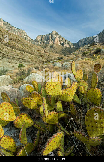 Prickly Pear cactus (Opuntia lindheimeri) and limestone peak, Guadalupe Canyon, Guadalupe Mountains National Park, - Stock Image