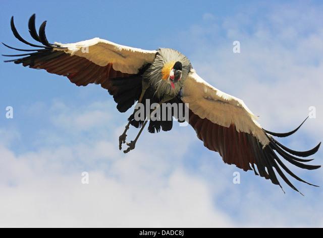 South African crowned crane, Grey crowned crane (Balearica regulorum), flying - Stock Image