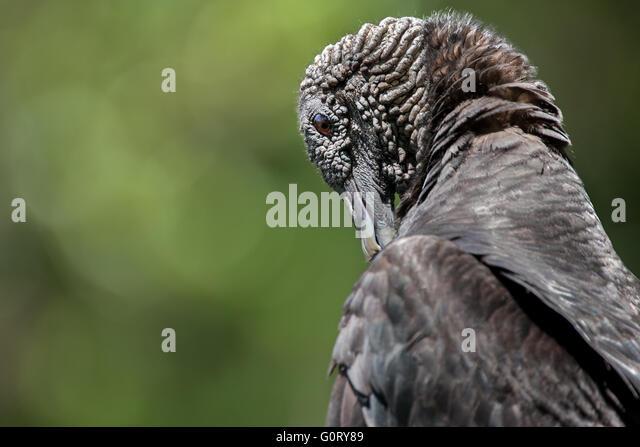 A black vulture portrait. - Stock Image