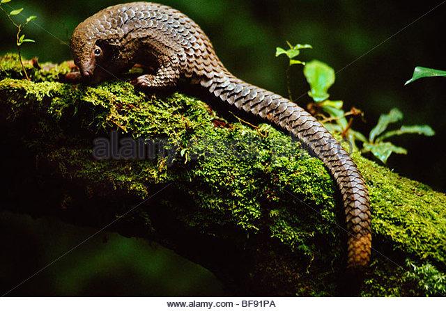 Long-tailed pangolin, Manis tetradactyla, Democratic Republic of Congo - Stock-Bilder