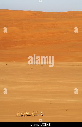 A bedouin leading his Arabian camels (Camelus dromedarius) across the desert region Wahiba Sands (Ramlat al Wahaybah) - Stock Image