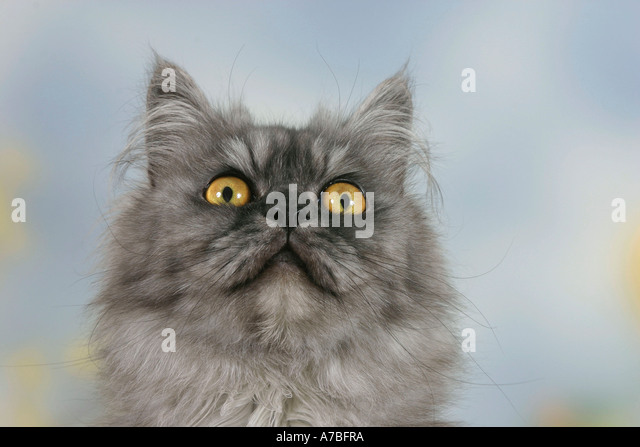 Persian Cat - Stock Image