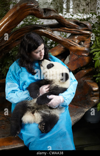 Woman holding 6 month old Giant Panda at Chengdu Panda Breeding Research Center - Stock Image