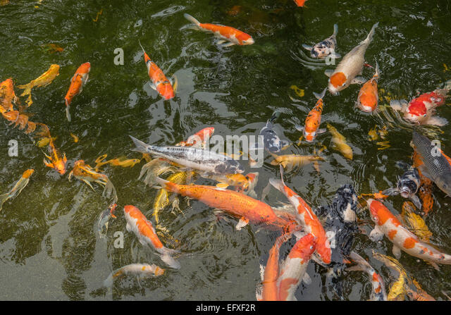 Butterfly koi stock photos butterfly koi stock images for Pool of koi