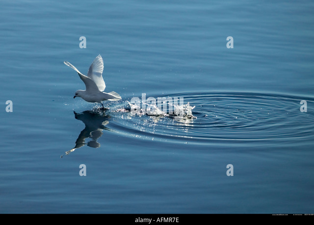 Antarctic tern Cape Washington Antarctica - Stock Image