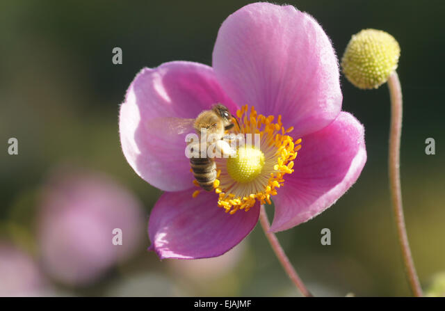 Herbst Anemone Stock Photos & Herbst Anemone Stock Images
