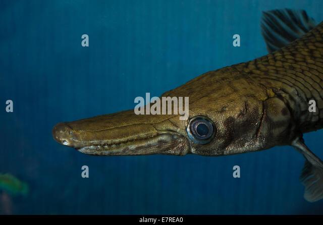 Lepisosteidae stock photos lepisosteidae stock images for North american freshwater fish