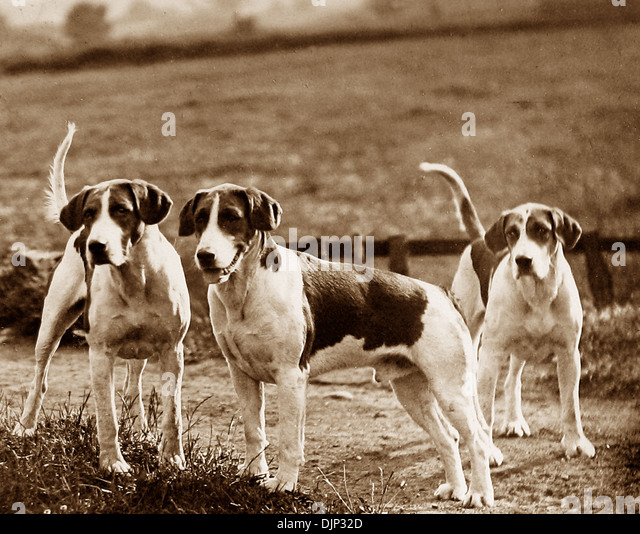 Fox hounds Victorian period - Stock Image
