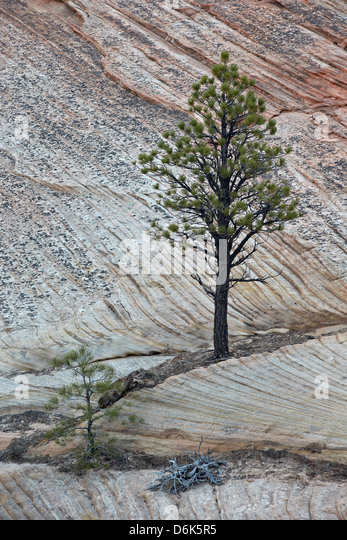 Pine tree growing on a sandstone ledge, Zion National Park, Utah, United States of America, North America - Stock Image