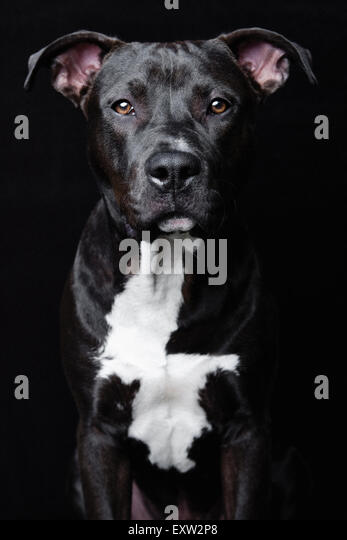 Stunning and intense studio portrait upper torso of black Pitbull on black background Pitbull - Stock Image