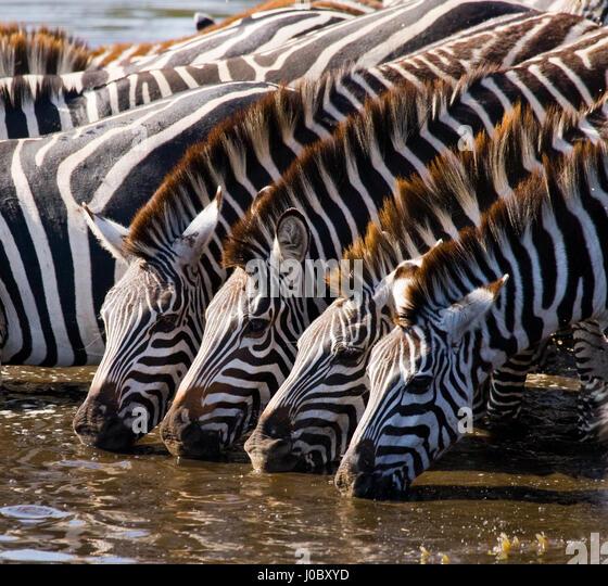 Group of zebras drinking water from the river. Kenya. Tanzania. National Park. Serengeti. Maasai Mara. An excellent - Stock Image