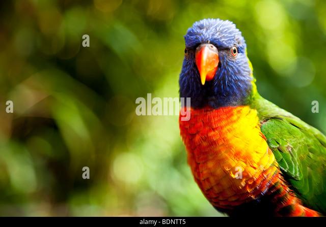 An Australian Rainbow Lorikeet shot in close up on location - Stock Image