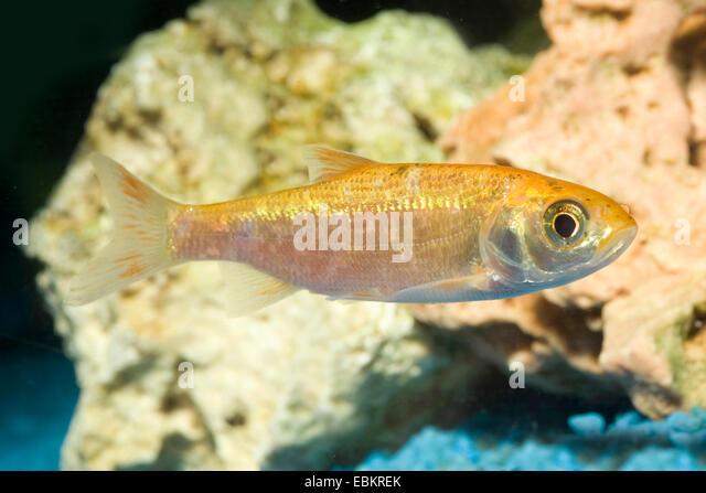 Ide, Orfe (Leuciscus idus), breeding form gold - Stock Image