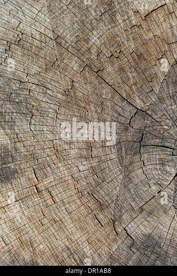 Cut trunk with cracks and annual rings in brown and grey color - Stock Image