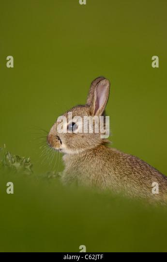 RABBIT Oryctolagus cuniculus Profile portrait of a young rabbit sitting uprightNorfolk, UK - Stock-Bilder
