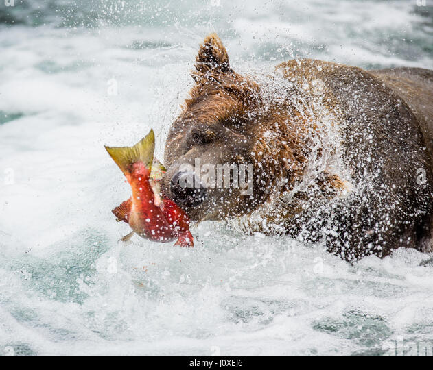Brown bear with salmon in its mouth. USA. Alaska. Kathmai National Park. Great illustration. - Stock Image