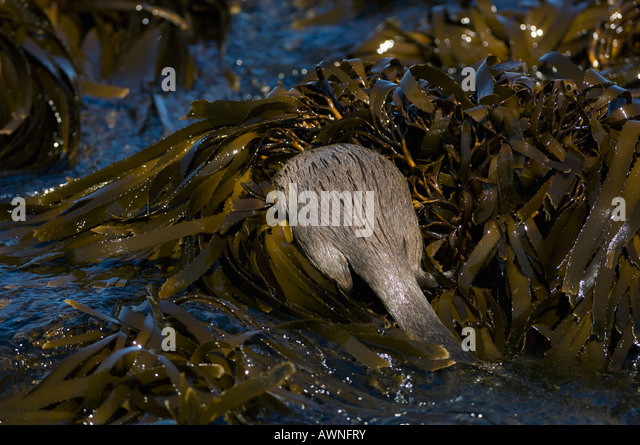 Marine Otter (Lontra felina) or Chungungo, ENDANGERED, Chiloe Island, Chile Foraging in kelp beds at low tide - Stock-Bilder