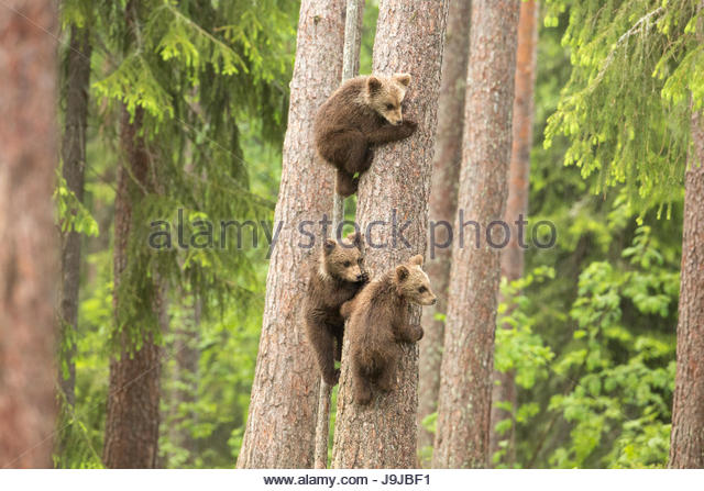 Bear Cubs playing. Finland. - Stock Image