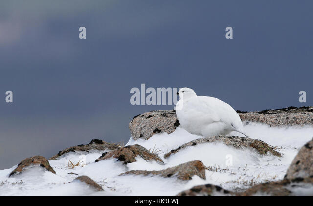Rock Ptarmigan (Lagopus mutus) Adult female standing on snow covered rocks, Scotland, March 2015 - Stock-Bilder
