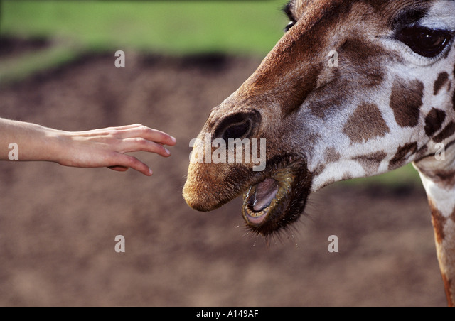 Human hand reaching out to touch giraffe - Stock Image