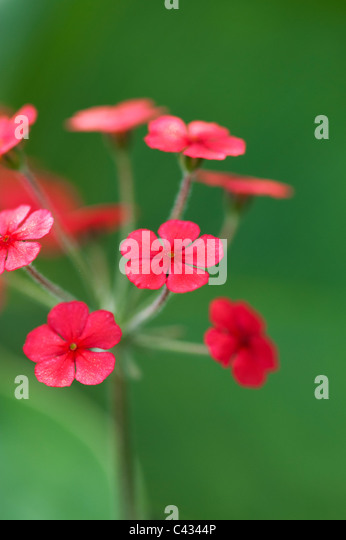 Androsace bulleyana flowers - Stock Image