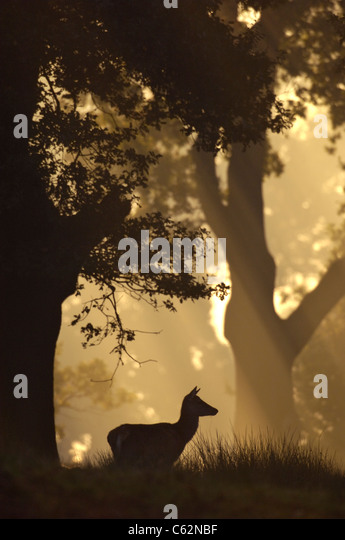 RED DEER Cervus elaphus  An adult female is silhouetted at dawn in woodland  Leicestershire, UK - Stock-Bilder