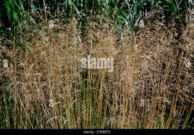 Deschampsia stock photos deschampsia stock images alamy for Tall ornamental grasses