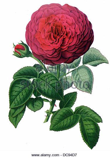 Rose lena turner - Stock-Bilder