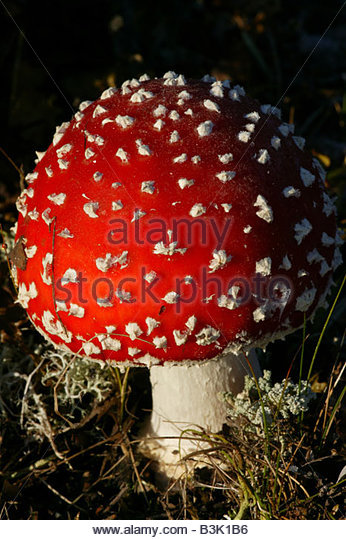 The colorful fungi Fly agaric at okstumyra natural reserve at Dovre Norway - Stock Image