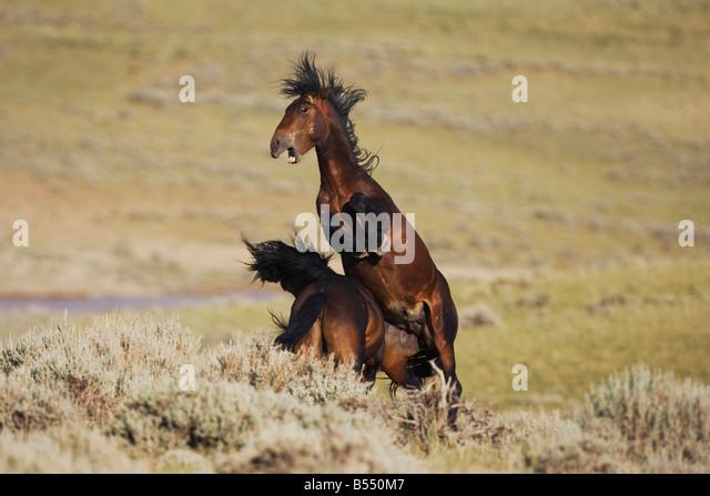 Mustang Horse Equus caballus stallions fighting Pryor Mountain Wild Horse Range Montana USA - Stock Image