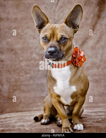 Small brown white Chigi Chihuahua Corgi dog huge ears sitting with furrowed brow and red flower collar plain fabric - Stock Image