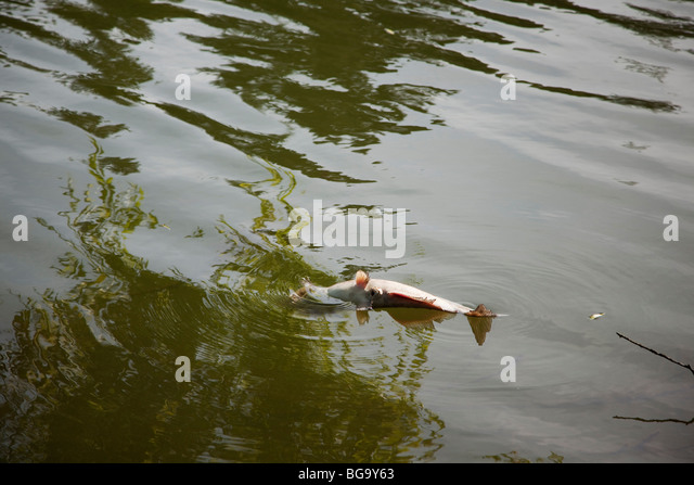 A dead catfish floating upside-down in Lake Temescal, Oakland, California, USA - Stock Image