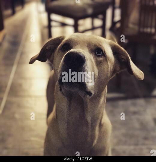 Light brown retriever dog paying attention - Stock-Bilder
