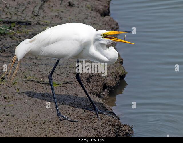 Great Egret with Fish between Beak - Stock Image