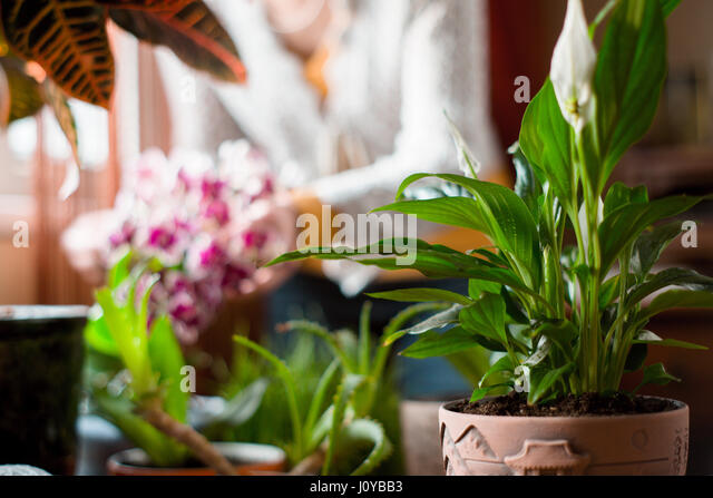 Spathiphyllum  in the greenhouse on the blurred background - Stock Image