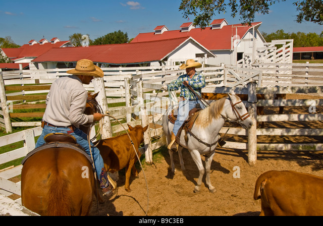 Cowboys rounding up cattle in pen George Ranch Historical Park Houston texas tx  tourist attraction American cowboy - Stock Image