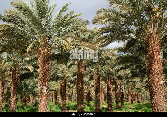 Date palm orchard outside of Palm Springs, California. - Stock Image