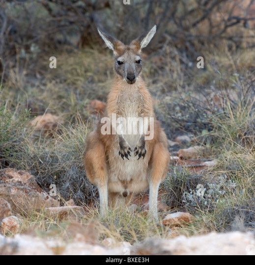Western Grey Kangaroo Macropus fuliginosus young male posing by the roadside in Western Australia - Stock Image