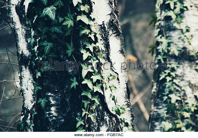 Ivy creeper tree trunk stock photos ivy creeper tree trunk stock images alamy - Flowers that grow on tree trunks ...