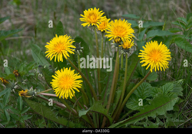 Dandelion (Taraxacum sp.) flowers near the path on the way to Svartifoss waterfall in Svartifoss National Park Iceland - Stock Image