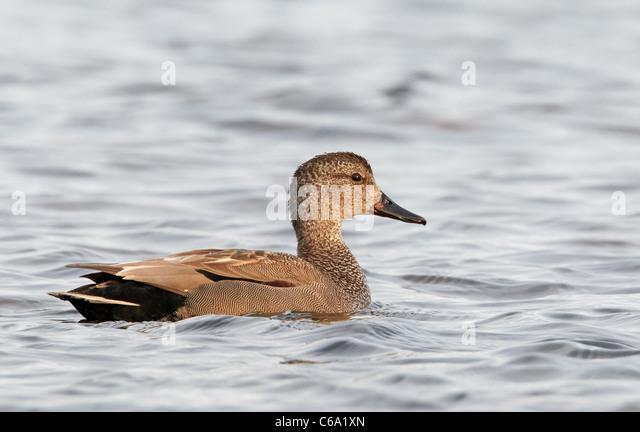 Gadwall (Anas strepera), drake on water. - Stock Image