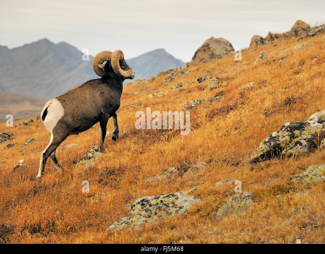 bighorn sheep, American bighorn, mountain sheep (Ovis canadensis), male, USA, Colorado, Rocky Mountain National - Stock Image